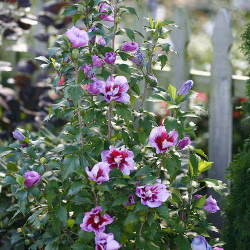 Purple Pillar Rose Of Sharon Hibiscus Syriacus Proven Winners