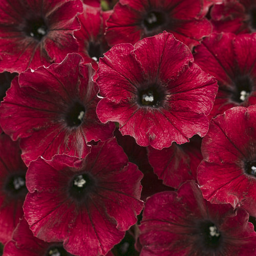 Supertunia® Black Cherry™ - Petunia hybrid