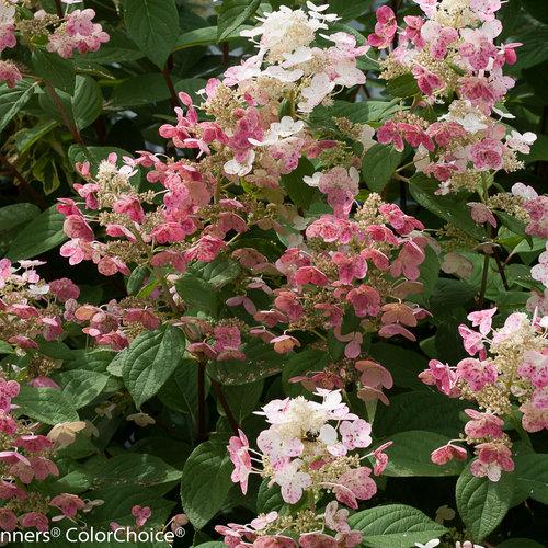 Quick Fire Panicle Hydrangea Hydrangea Paniculata Proven