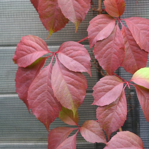 red_wall_parthenocissus-4273.jpg