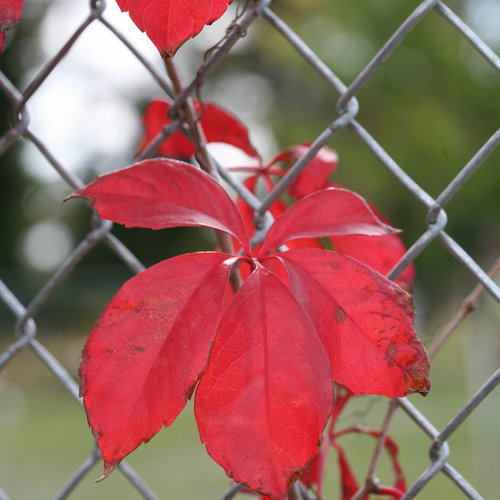 red_wall_parthenocissus-4591.jpg