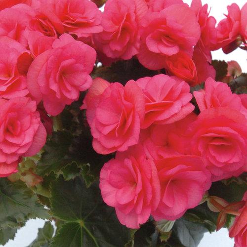 Dragone - Rieger Begonia - Begonia x hiemalis