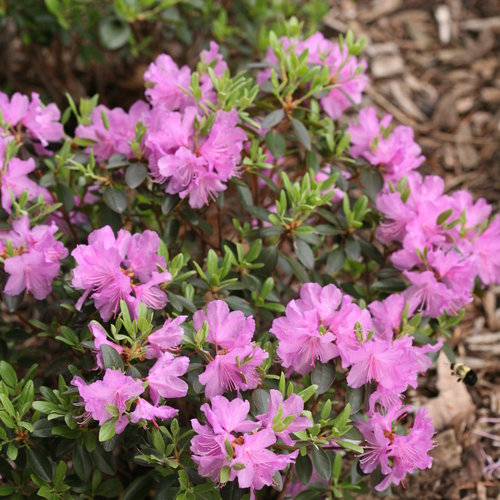 rhododendron_amy_cotta_img_0705.jpg