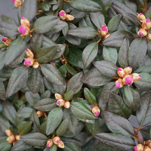 rhododendron_black_hat_2.jpg