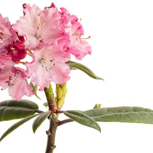 rhododendron_dandy_man_color_wheel_04-macro.jpg