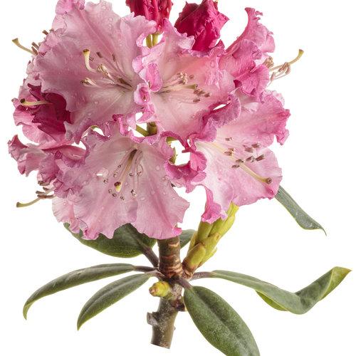 rhododendron_dandy_man_color_wheel_10-macro.jpg