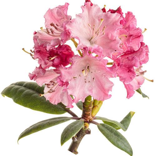 rhododendron_dandy_man_color_wheel_12-macro.jpg