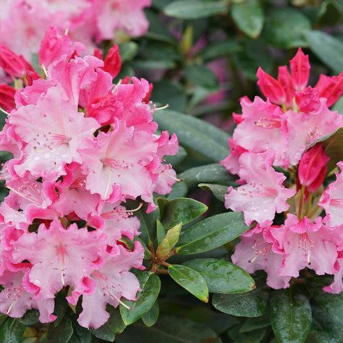 rhododendron_dandy_man_color_wheel_2.jpg