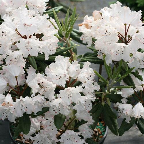 rhododendron_dandy_man_color_wheel_5.jpg