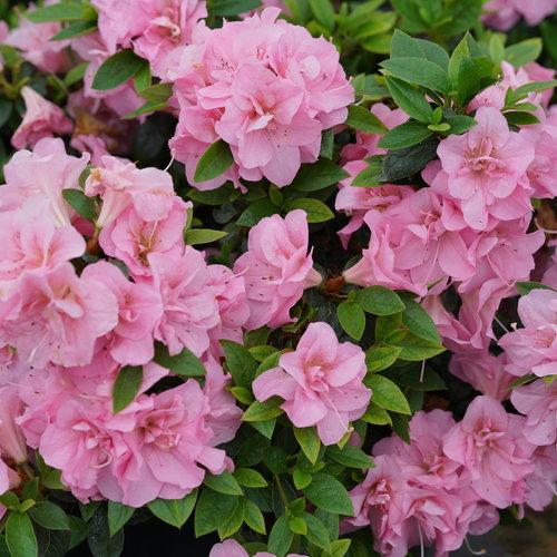 Perfecto Mundo® Double Pink - Reblooming Azalea - Rhododendron x