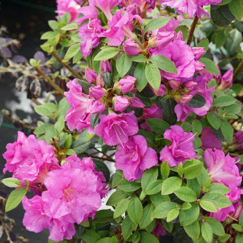 rhododendron_perfecto_mundo_double_purple_dsc01320.jpg