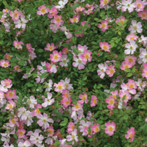 rosachewground4321rt16.jpg