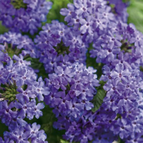 Superbena Royale® Chambray - Verbena hybrid