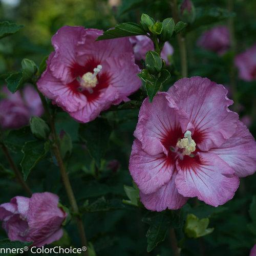 ruffled_satin_hibiscus-2.jpg