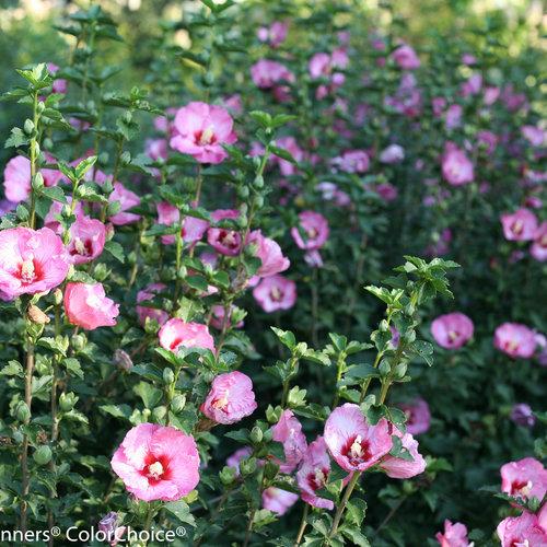 ruffled_satin_hibiscus-9573.jpg