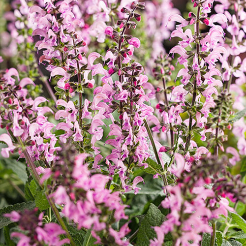 salvia_color_spires_pink_may_night.jpg