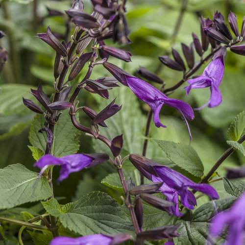 Rockin'® Deep Purple - Salvia hybrid