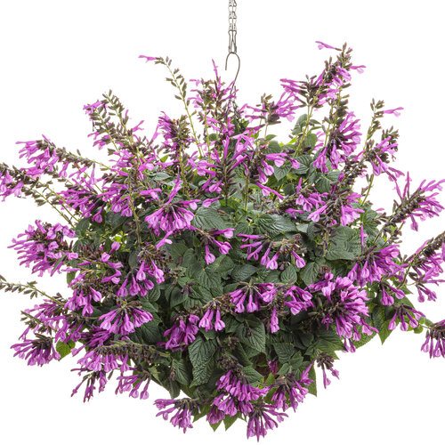 salvia_unplugged_pink_hanging_basket.jpg