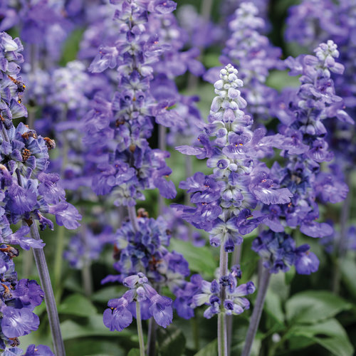Unplugged® So Blue™ - Mealycup Sage - Salvia farinacea