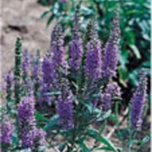 May Night - Hardy Sage - Salvia nemorosa