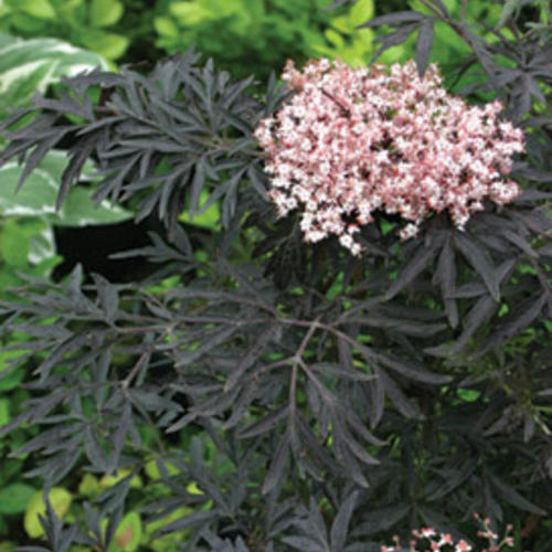 black lace elderberry sambucus nigra proven winners. Black Bedroom Furniture Sets. Home Design Ideas