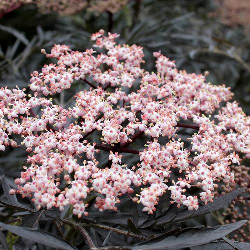 Black Lace® - Elderberry - Sambucus nigra