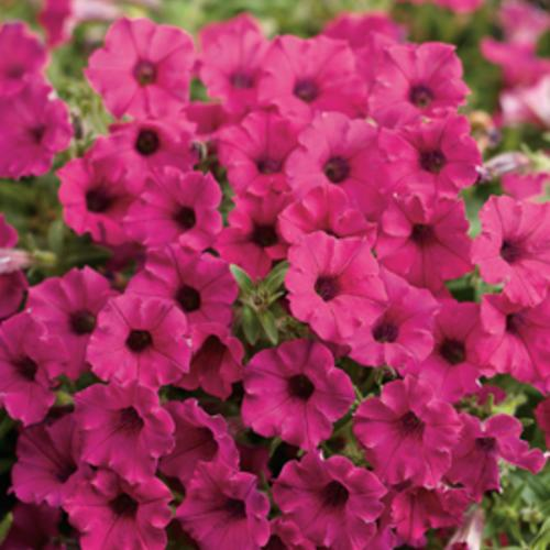 Supertunia Mini Vista® Sangria - Petunia hybrid