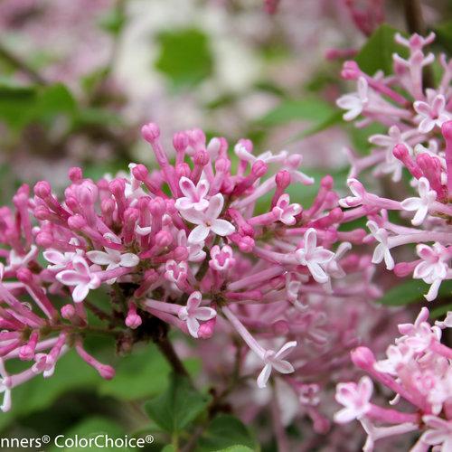 scent_and_sensability_syringa-5476.jpg