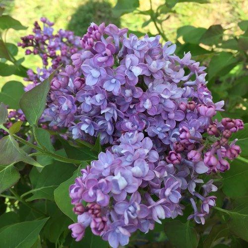 Scentara® Double Blue - Lilac - Syringa hyacinthiflora