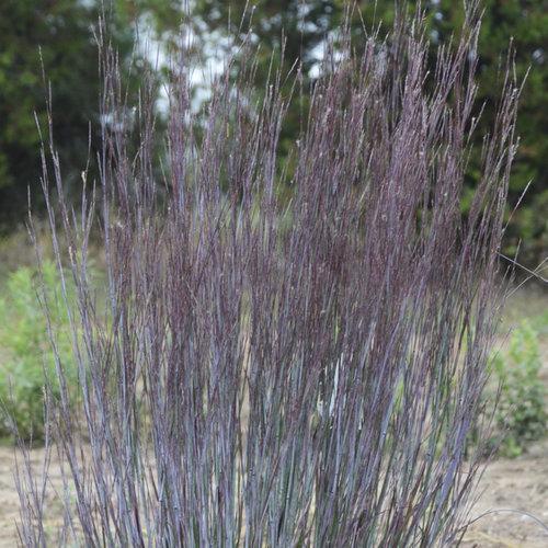 Prairie Winds® 'Blue Paradise' - Little Bluestem - Schizachyrium scoparium