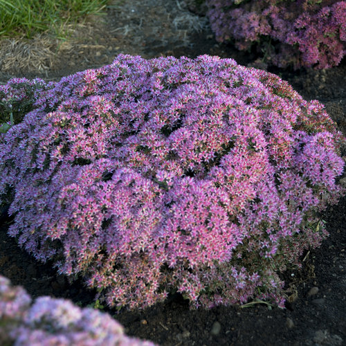 Rock 'N Round™ 'Pride and Joy' - Stonecrop - Sedum hybrid