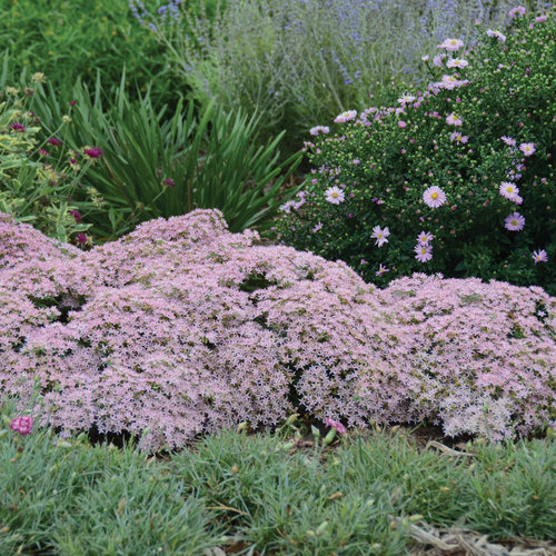 sedum_pure_joy_cjw12.jpg