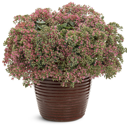 sedum_rock_n_grow_popstar.jpg