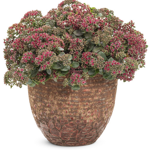 sedum_rock_n_grow_superstar.jpg