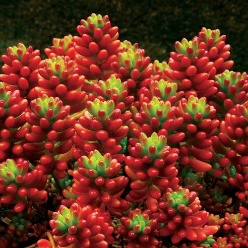 Sedum rubrotinctum