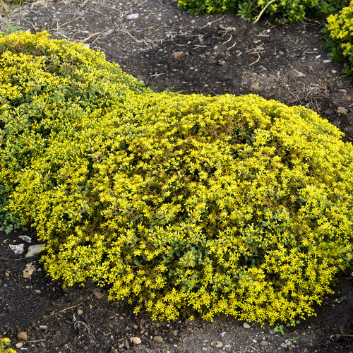 Rock 'N Grow® 'Yellow Brick Road' - Stonecrop - Sedum hybrid