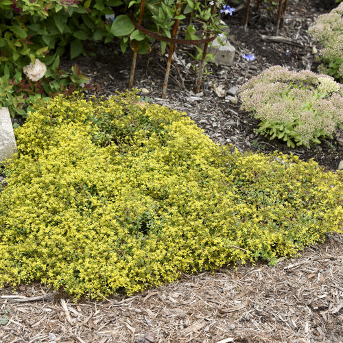 sedum_yellow_brick_road_apj20_1.jpg