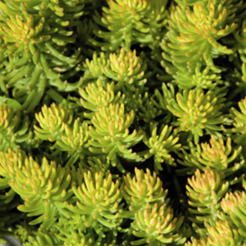 Compact Yellow Cushion - Sedum hybrid