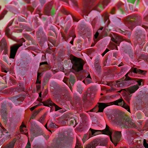 Sunsparkler® 'Wildfire' - Stonecrop - Sedum rupestre