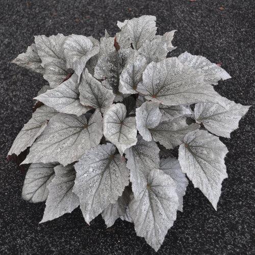 Shadow King® Cool White - Rex Begonia - Begonia rex-cultorum