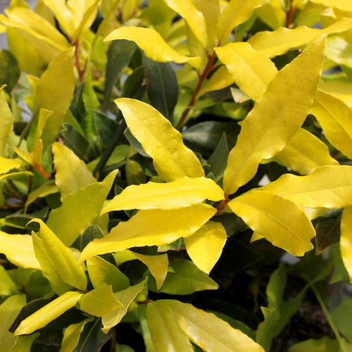 Sicilian Sunshine® - Sweet bay - Laurus nobilis