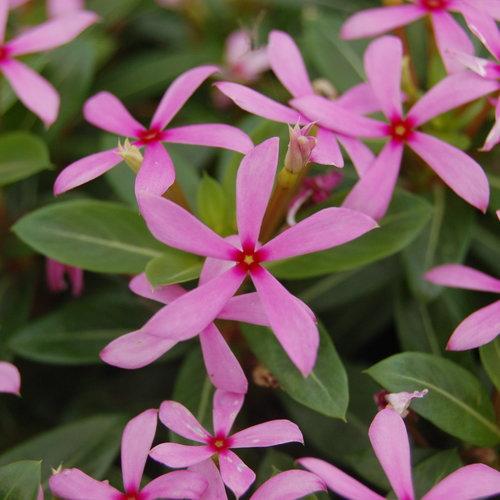 Soiree Kawaii® Light Purple - Vinca - Catharanthus hybrid