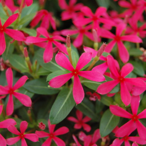 Soiree Kawaii® Red Shades - Vinca - Catharanthus hybrid