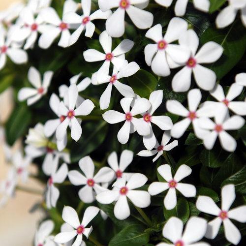Soiree Kawaii® White Peppermint - Vinca - Catharanthus hybrid