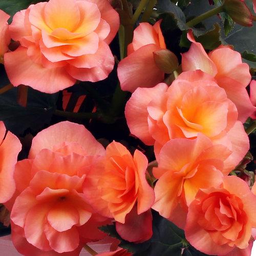 Solenia® Apricot - Rieger Begonia - Begonia x hiemalis