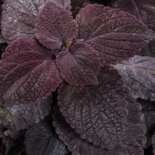 ColorBlaze® Newly Noir™ - Coleus - Plectranthus scutellarioides