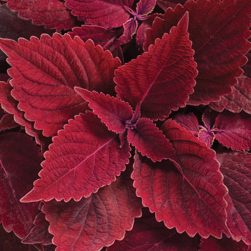 ColorBlaze® Rediculous® - Coleus - Plectranthus scutellarioides