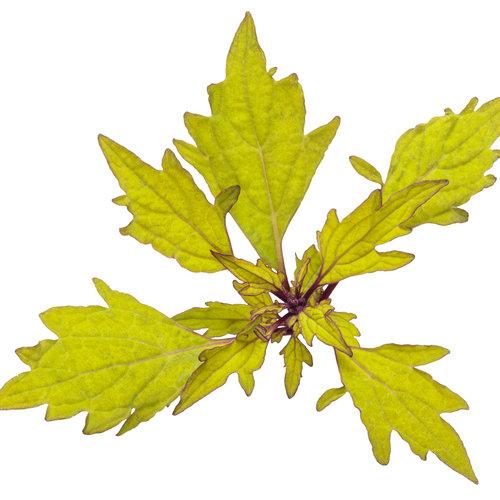 solenostemon_colorblaze_royale_pineapple_brandy_macro_01.jpg