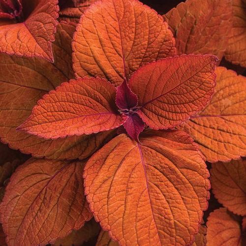 ColorBlaze® Sedona Sunset® - Coleus - Solenostemon scutellarioides