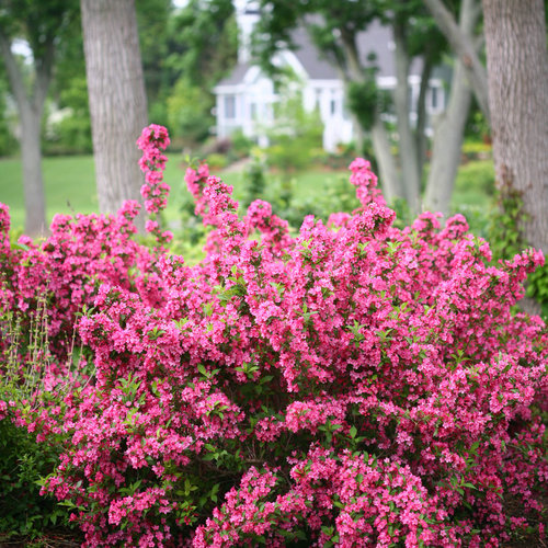 Sonic Bloom® Pink - Reblooming Weigela - Weigela florida
